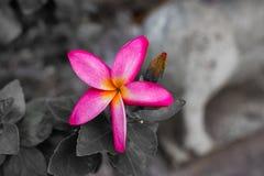 Champaka& arancio x27; fiore Fotografia Stock