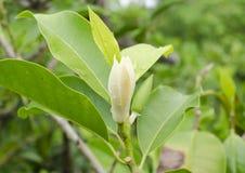 Champaka bianco è fiore Fotografia Stock