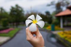 Champaka& bianco x27; fiore Fotografia Stock