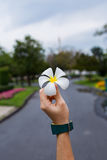 Champaka& blanc x27 ; fleur dans le woman& x27 ; main de s Image stock