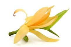 Champaka blomma Arkivbild