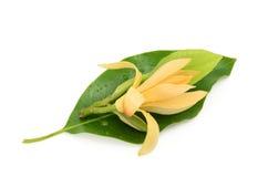 Champaka flower Stock Image