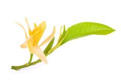 Champaka kwiat z liściem odizolowywającym na bielu Zdjęcie Royalty Free