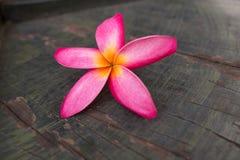 Champaka& orange x27 ; fleur Photographie stock libre de droits