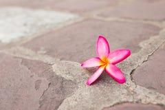 Champaka& orange x27 ; fleur Image stock