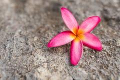 Champaka& orange x27 ; fleur images stock
