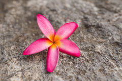 Champaka& orange x27 ; fleur Photos stock