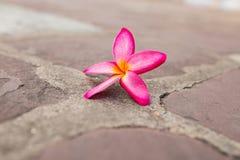 Champaka& orange x27 ; fleur Photos libres de droits