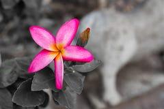 Champaka& orange x27 ; fleur photo stock
