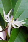 Champaka piękny i aromata kwiat na drzewie Obrazy Stock