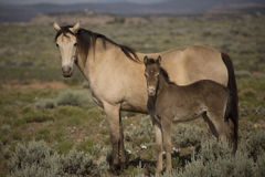 Champange horse mare and baby Royalty Free Stock Photography