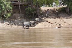 Champasak Loas- 22. November: lokale Vieh-Stellung des Wasserbüffels Stockfoto