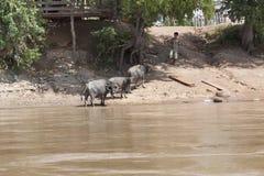 Champasak Loas-NOVEMBER 22: stå för nötkreatur för vattenbuffel lokalt Royaltyfri Fotografi