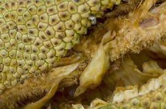 Champedak, bankong (Artocarpus integer). Stock Images