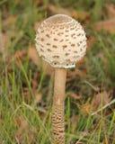 Champignon Image libre de droits