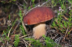 Champignon photo stock