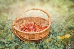 Champignon amer de rufus de Lactarius image libre de droits