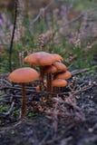 Champignon anglais de forêt Photographie stock libre de droits