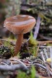 Champignon anglais de forêt Photos stock