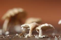 Champignon blanc minuscule dans la saison de pluie sur le vieux bois d'humidité sur le plancher photographie stock