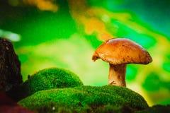 Champignon brun frais de boletus de chapeau sur la mousse sous la pluie Photo stock