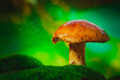 Champignon brun frais de boletus de chapeau sur la mousse sous la pluie Image stock