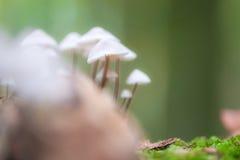 Champignon cannelé de capot, champignon Polygramma de Mycena Nature dedans Photos libres de droits