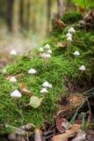 Champignon cannelé de capot, champignon Polygramma de Mycena Nature dedans Photo stock