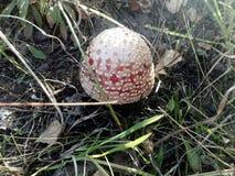 champignon, champignon, toxique images stock