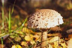 Champignon comestible de belle forêt d'automne photographie stock libre de droits