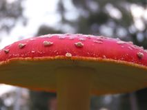 Champignon d'agaric de mouche Images stock