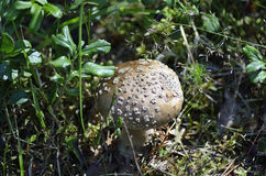 Champignon d'amanite de Brown Photos libres de droits