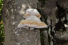 Champignon d'arbre photographie stock