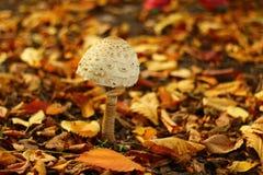 Champignon d'automne Image libre de droits