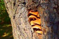 Champignon d'hiver dans l'arbre creux photo libre de droits