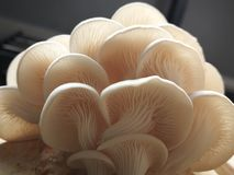 Champignon d'huître photo stock