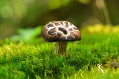 Champignon d'imbricatus de Sarcodon Photo stock