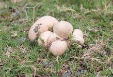 Champignon dans des lits d'herbe en juin images libres de droits
