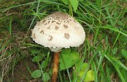 Champignon dans l'herbe dans la forêt Photo libre de droits