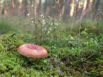 Champignon dans la forêt Photos libres de droits