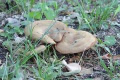 Champignon dans la forêt Image stock