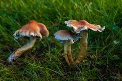 Champignon dans la forêt ils décorent d'une manière spéciale l'atmosphère de pays Images libres de droits