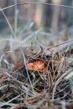 Champignon dans la forêt sous l'herbe Photos libres de droits