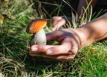 champignon de boletus d'Orange-chapeau dans la main de l'homme Image stock