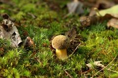 Champignon de boletus dans la mousse de la broussaille Image stock