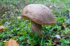 Champignon de boletus de chapeau de Brown Image stock