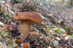 Champignon de boletus de roi avec des aiguilles de pin là-dessus Cèpe d'automne dans les bois Fermez-vous vers le haut de la phot image libre de droits