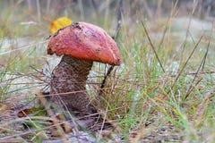 Champignon de boletus de roi avec le cap rouge dans la fin de forêt  Entouré par les plantes vertes et les bois image stock