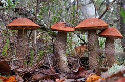 Champignon de boletus de roi avec le cap rouge dans la fin de forêt  Entouré par les plantes vertes et les bois images stock
