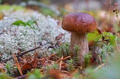 Champignon de boletus de roi dans la fin de forêt  Entouré par la mousse blanche Sepe d'automne dans les bois Cuisson du mushr or photographie stock